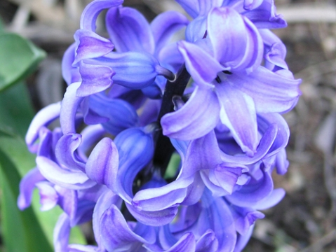 hyacinth-delft-blue-1