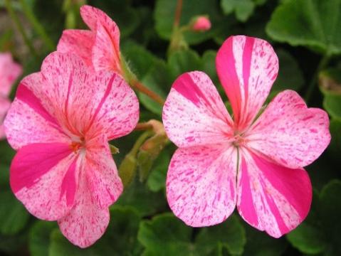 Pelargonium  freckled flowers 1