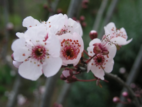 plum-blossom-1